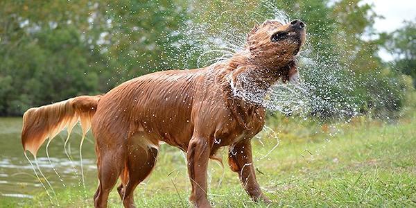 犬のシャンプー水気を切る写真
