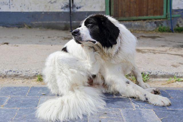 犬耳掃除 犬が耳をかいている写真