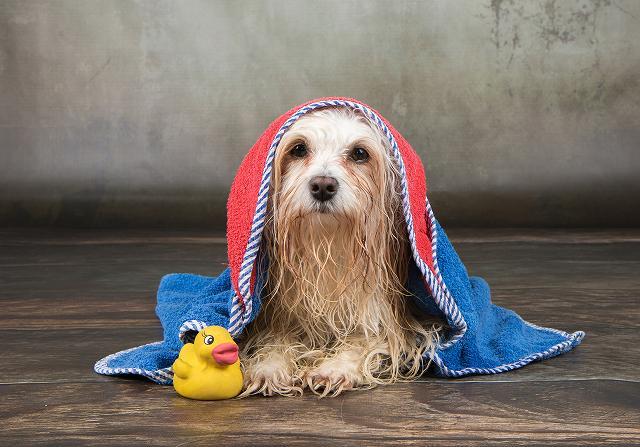 犬のシャンプータオルを被る写真