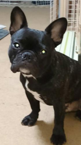 犬の体臭の原因 フレブルの写真