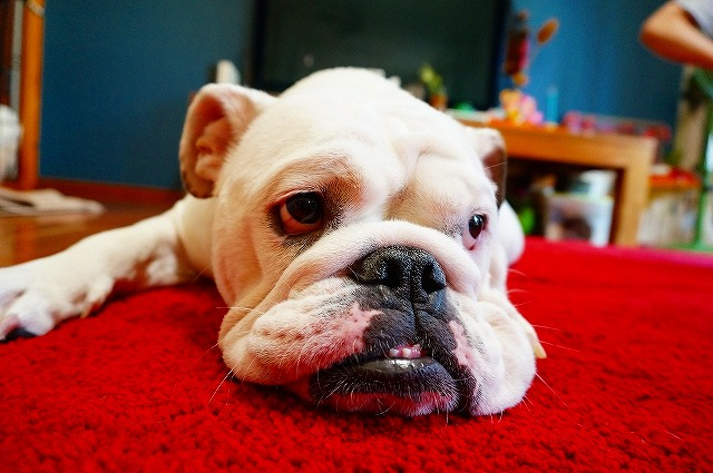 犬の留守番の寂しい犬の画像