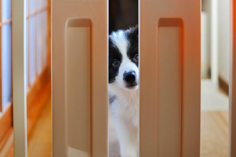 犬の留守番のしつけのトップの画像