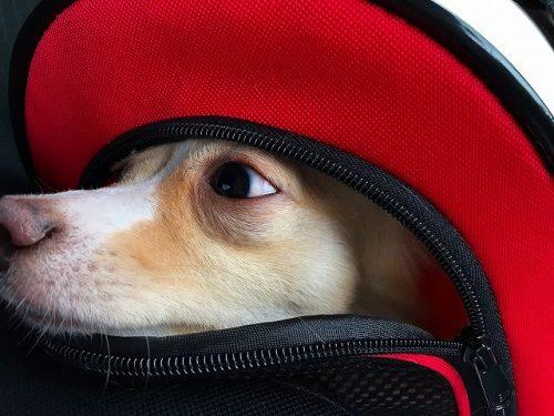 犬の留守番バッグに入る犬の画像