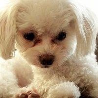 犬の涙やけの写真