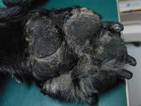 肝臓の悪い犬の肉球の写真