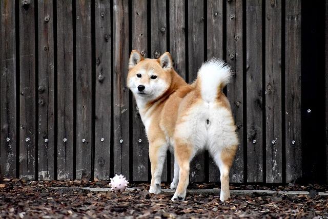 犬のこうもんせんのトップの画像