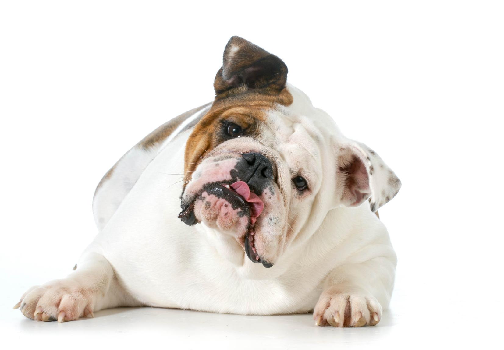 ドッグフード 脂肪 ブルドッグが首をかしげる写真