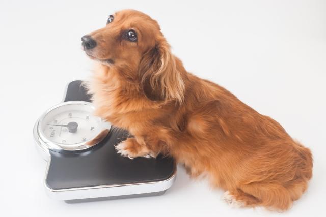 ダックスフンドが体重を計る写真