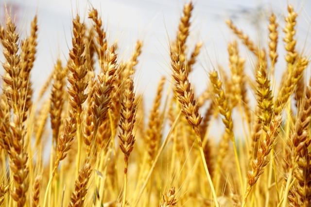 小麦の写真