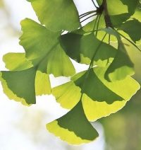 犬用認知症サプリ毎日一緒の成分イチョウの葉エキスの画像