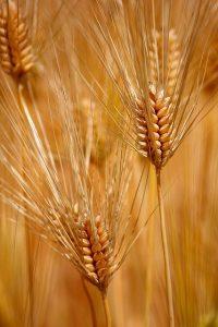 ファインペッツの大麦の画像